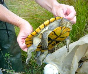 Saw-shelled Turtle
