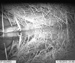 Shot 2 Native water rat or rakali