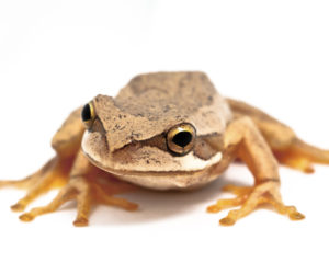 Southern Brown Treefrog 2
